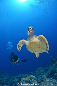 Hawksbill turtle with Diver
